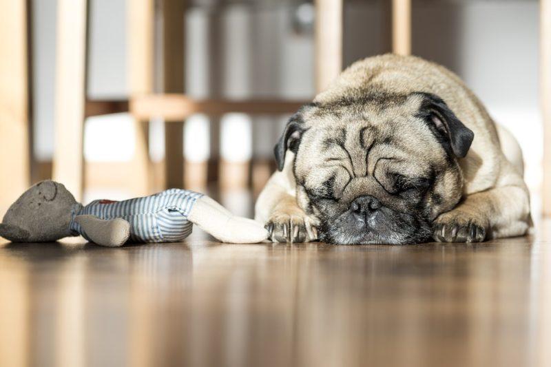 Chien dormant près de son jouet favori