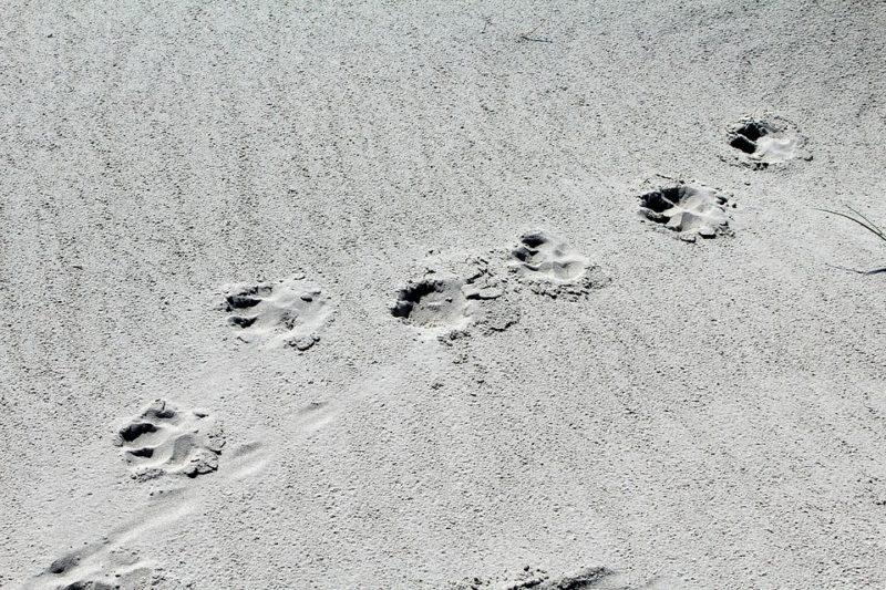 Empreintes de chien dans le sable